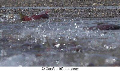 Spawning sockeye salmon. Red salmon enters the river.