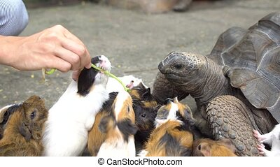 Close up of female hand feeding turtle and guinea pigs -...