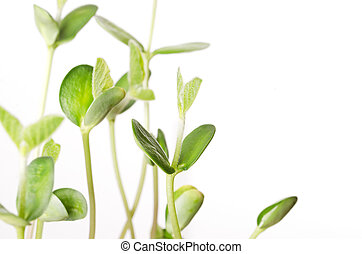 Soybean seedlings over white, closeup. Young Soya bean...