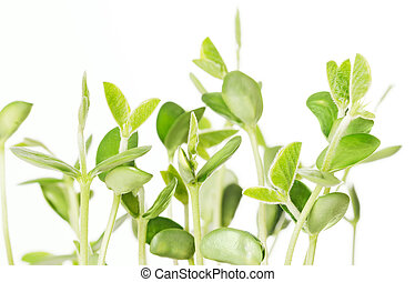 Soybean seedlings on white background. Young Soya bean...