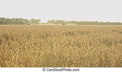 Combine harvester in wheat field - Harvester working in...