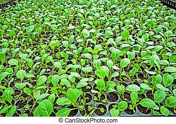 seedlings of cabbage in the vegetable tray.