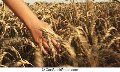 Girl's hand touches the wheat ears in field. - Girl's hand...