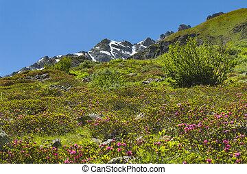 Alpine Roses in Summer, Austria - Alpine roses in green...