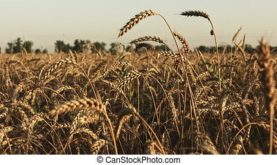 Wheat field at sunset in summer
