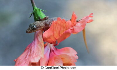 Tropical House Gecko on red flower like Cape Honeysuckle....