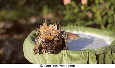 Dog breed Pekingese Taking a bath - Cute dog breed Pekingese...