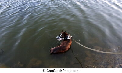 breed boxer dog in river in hot weather. pet on a leash and...