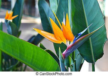 Strelitzia - traditional flower of Madeira island. Sunny...
