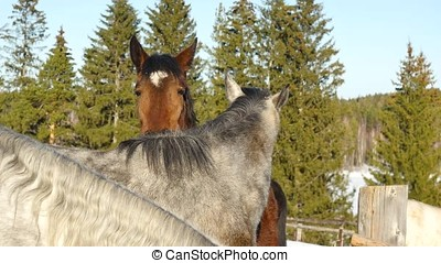 A pair of horses showing affection. White and brown horse cuddling