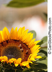 Sunflower, Helianthus annuus, with honeybees - Sunflower,...