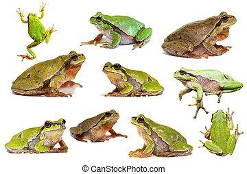 カエル, 緑, 木, 隔離された, コレクション