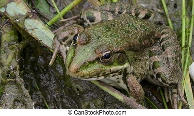 Frog - The green frog disguises itself among the marsh ooze
