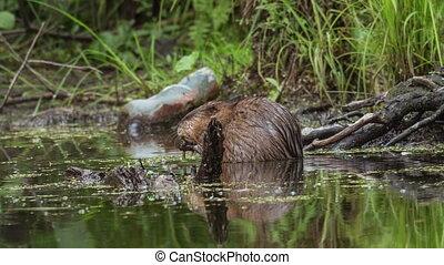 Muskrat in water eats aquatic vegetation