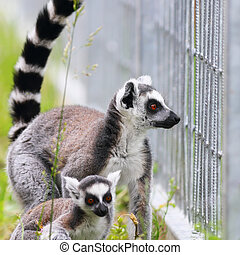 ring tailed lemur family, mother and youngster ( Lemur catta...