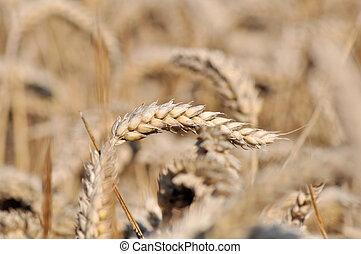 ripe ear of wheat - close on ripe ear of wheat in a field
