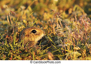 cute young european ground squirrel hiding at the entrance...