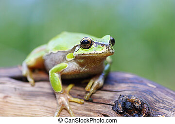 european tree frog on a stump - cute green european tree...