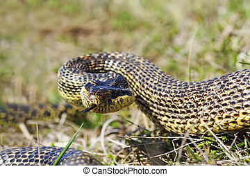 aggressive blotched snake ready to strike, attack position (...