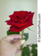 red rose with woman's hands - A beautiful red rose with...