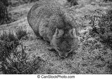 Adorable large wombat during the day looking for grass to...