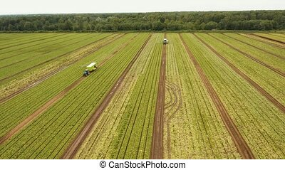 Field with rows of salad. - Aerial view Rows of green salad...