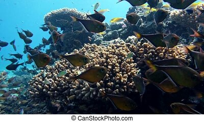 School of fishes Vanikoro Sweeper swims near coral reef in...