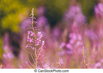 Pink fireweed flowers on spring meadow - Pink flowers...