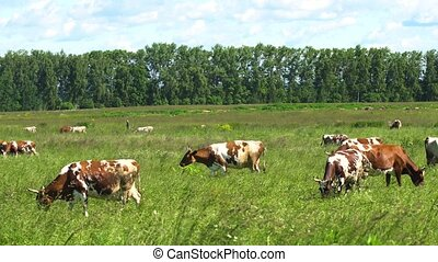 Cows grazing on pasture - Cows graze on a green pasture on a...