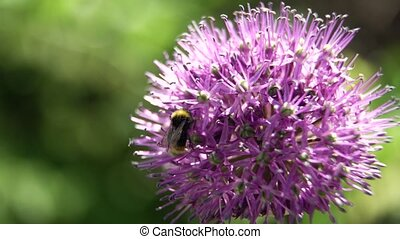 Bee on the flower,close up. - Bee on purple flower. Bee...