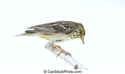 Tree Pipit (Anthus trivialis) isolated on a white background