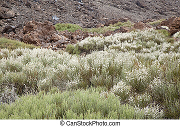 Canary Islands, Tenerife, white-flowering high altitude...