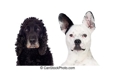 Black and white dogs looking at camera