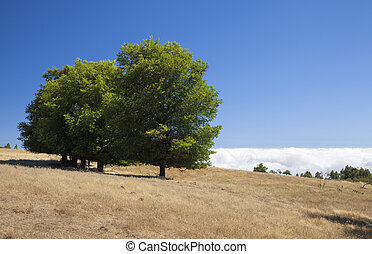 Gran Canaria, July, central areas landscape, field elm trees...