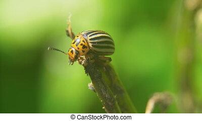 Colorado potato beetle eats potatoes