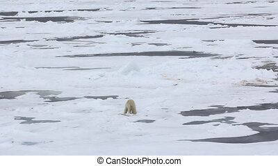Polar Bear eats and digs into snow killed seal - polar bear...