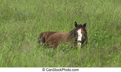 Horse on a summer pasture. - Brown horse lies on the green...