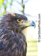 Portrait of golden eagle (Aquila chrysaetos) with blurred...