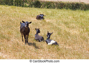 Goat group in Vale Seco, Santiago do Cacem, Alentejo,...