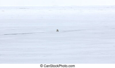 Polar bear goes into the expanses of the Arctic ocean -...