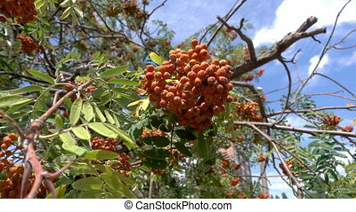 Rowan berries, Mountain ash Sorbus tree with ripe berry -...