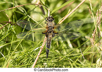 European Four-spotted Chaser dragonfly, Libellula...