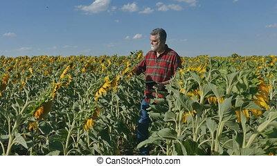 Farmer inspecting sunflower field - Farmer or agronomist...