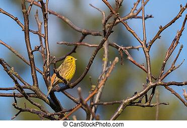 Yellowhammer (Emberiza citrinella) passerine bird singing on...