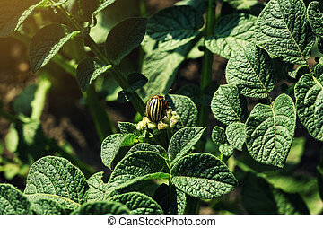 Colorado potato beetle eats potato leaves,close-up.Colorado...