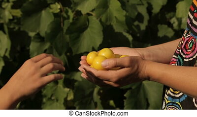 A child takes yellow plums from the hands of a woman - A...