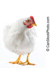 Hen - Image of white hen standing and looking aside