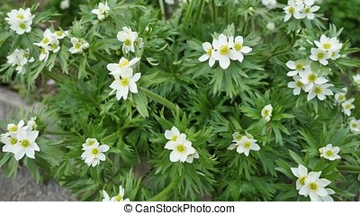 Wild flowers and plants. Flower of anemone. Wild flowers. Colorful flowers on the field. Wildflowers among grass and wild flowers close up