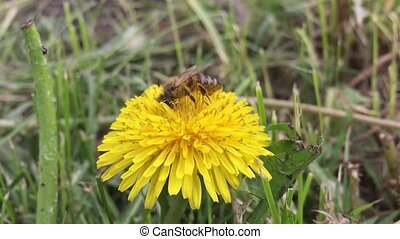 Beautiful bee. bee collects nectar on a dandelion, yellow...