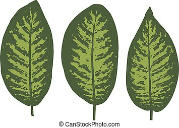 Dieffenbachia tropical leaf set. Vector illustration